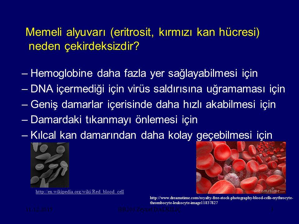 Memeli alyuvarı (eritrosit, kırmızı kan hücresi) neden çekirdeksizdir