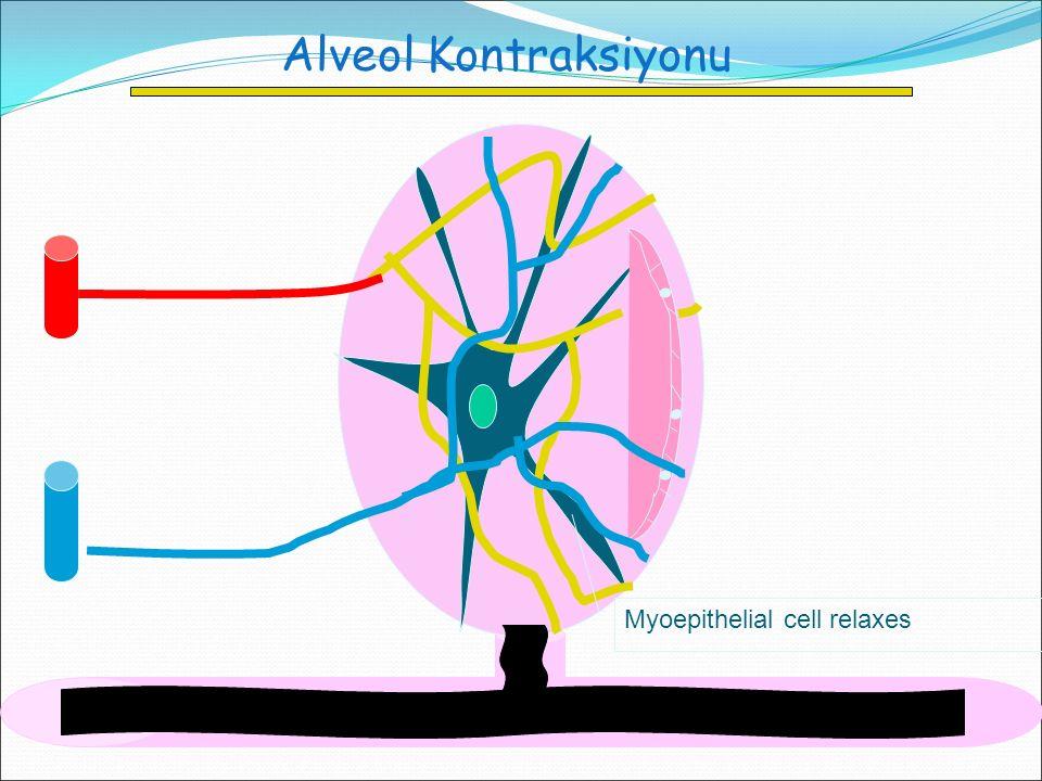 Alveol Kontraksiyonu Myoepithelial cell relaxes
