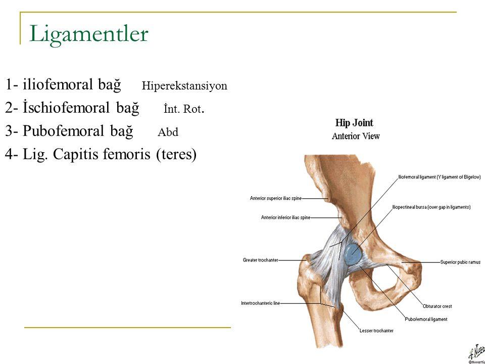 Ligamentler 1- iliofemoral bağ Hiperekstansiyon