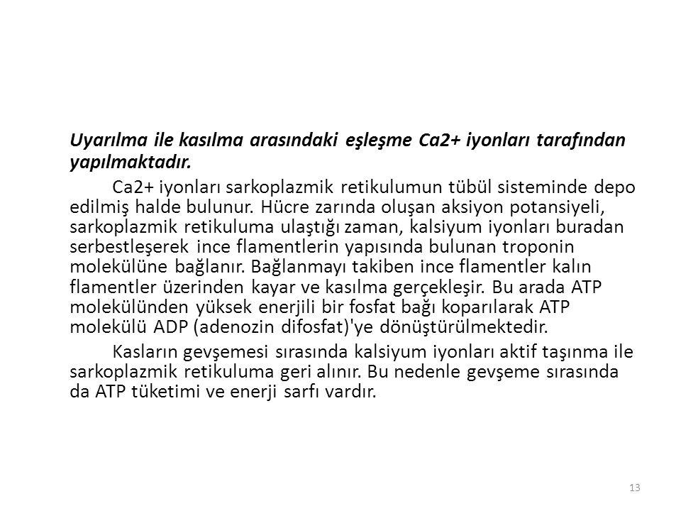 Uyarılma ile kasılma arasındaki eşleşme Ca2+ iyonları tarafından yapılmaktadır.