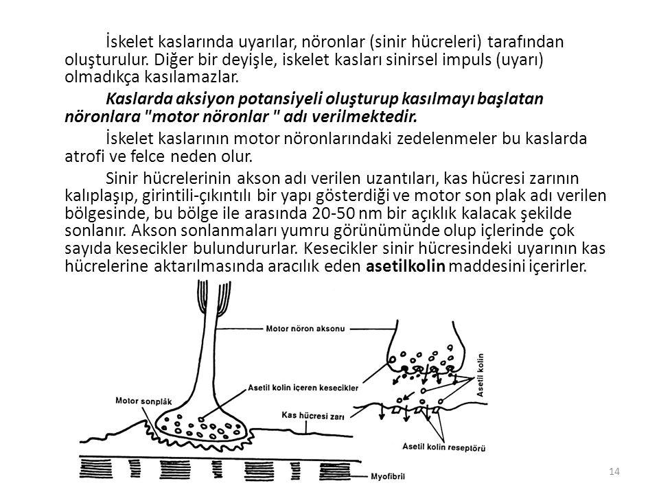 İskelet kaslarında uyarılar, nöronlar (sinir hücreleri) tarafından oluşturulur.