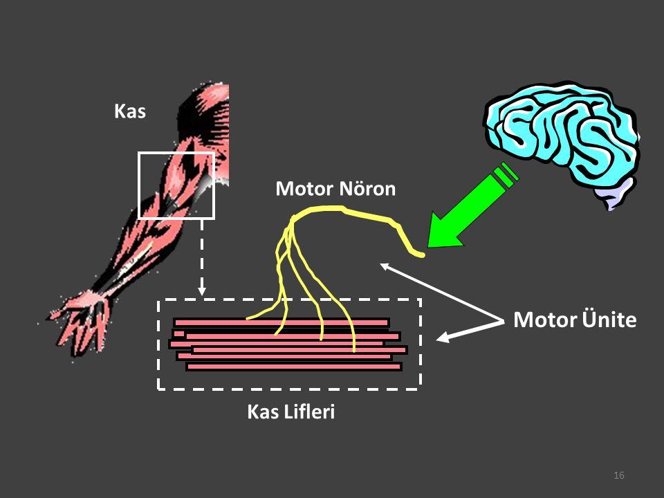 Kas Motor Nöron Kas Lifleri Motor Ünite