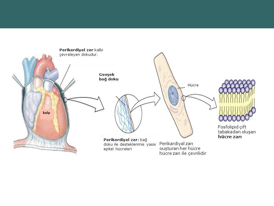Perikardiyal zarı ouşturan her hücre hücre zarı ile çevrilidir