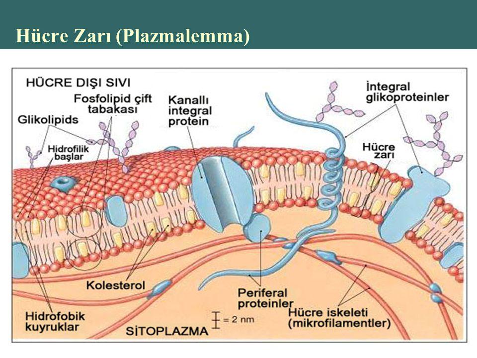 Hücre Zarı (Plazmalemma)