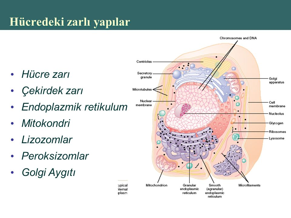 Hücredeki zarlı yapılar