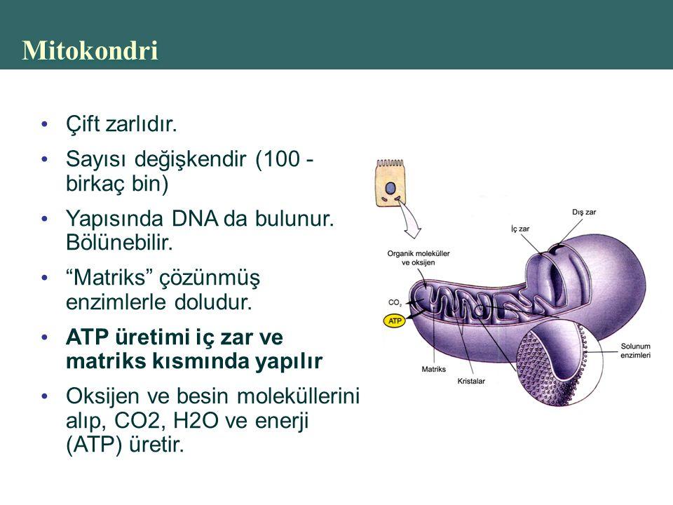 Mitokondri Çift zarlıdır. Sayısı değişkendir (100 - birkaç bin)