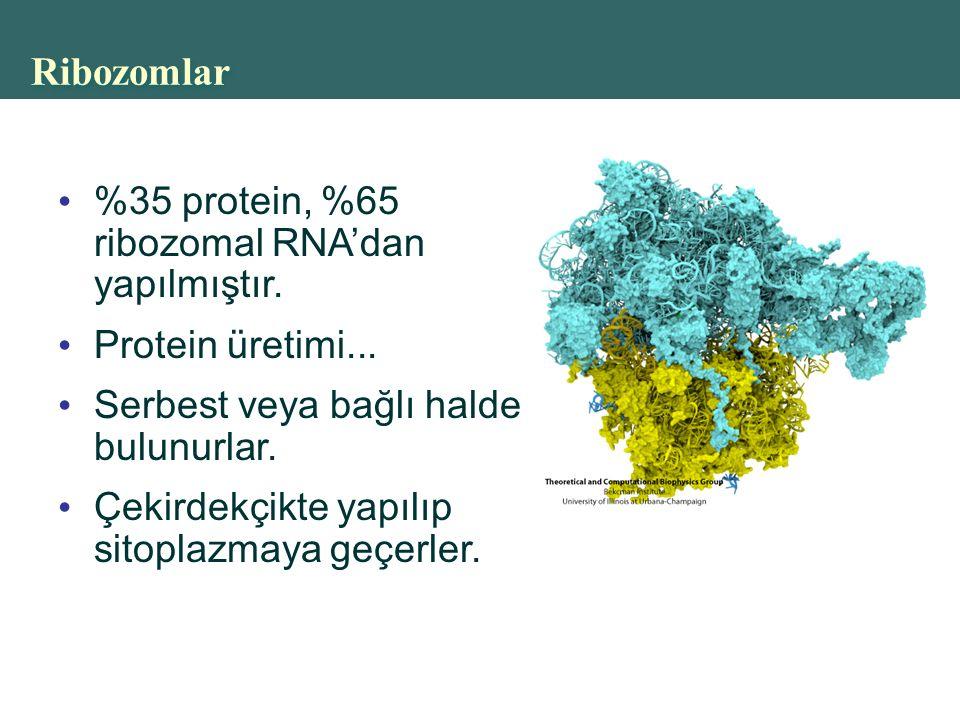 Ribozomlar %35 protein, %65 ribozomal RNA'dan yapılmıştır.