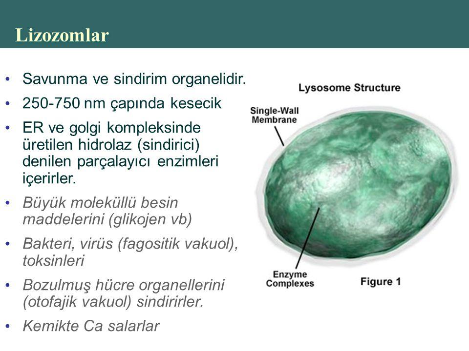Lizozomlar Savunma ve sindirim organelidir. 250-750 nm çapında kesecik