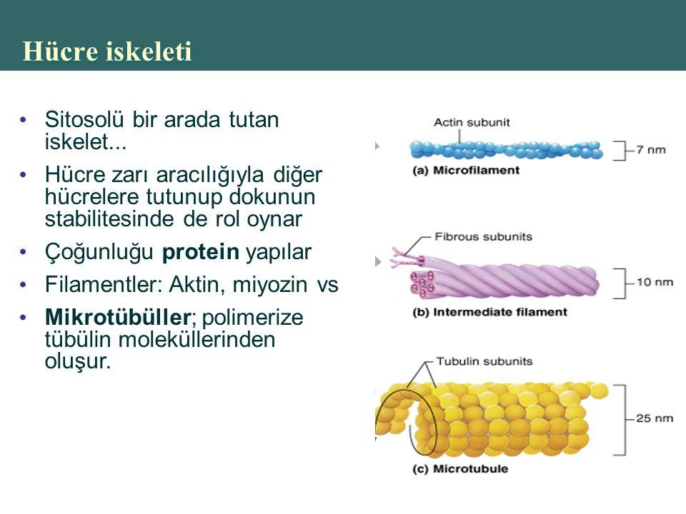 Hücre iskeleti Sitosolü bir arada tutan iskelet...