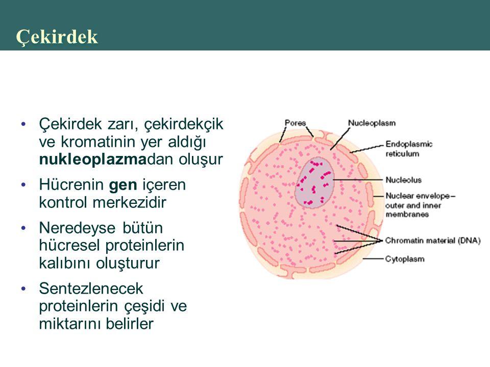 Çekirdek Çekirdek zarı, çekirdekçik ve kromatinin yer aldığı nukleoplazmadan oluşur. Hücrenin gen içeren kontrol merkezidir.