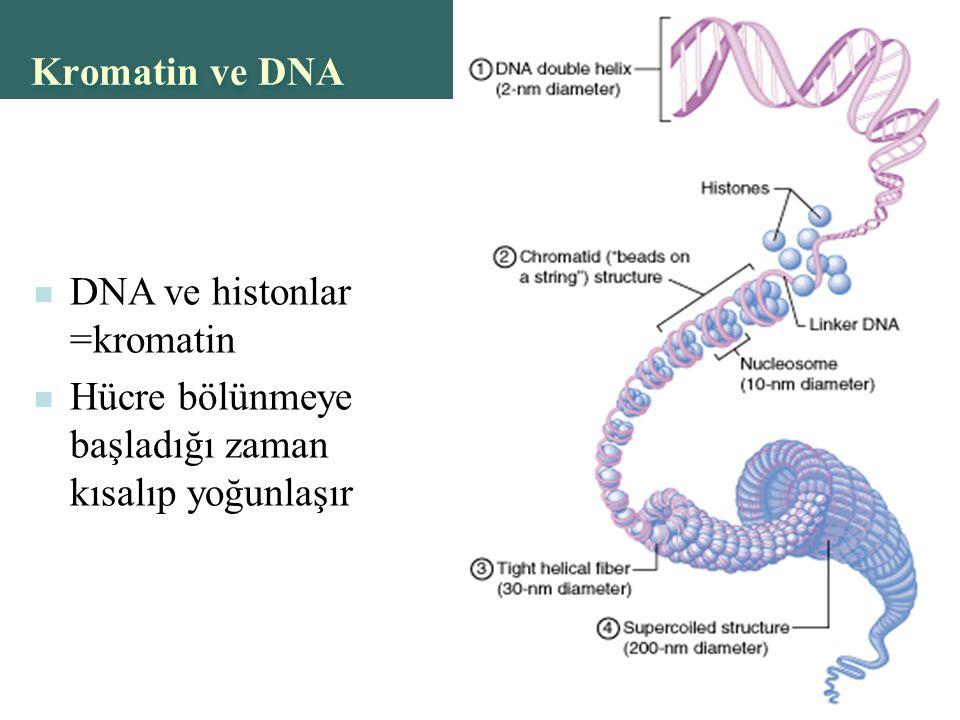 Kromatin ve DNA DNA ve histonlar =kromatin Hücre bölünmeye başladığı zaman kısalıp yoğunlaşır