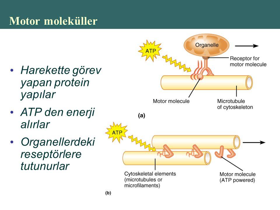 Motor moleküller Harekette görev yapan protein yapılar