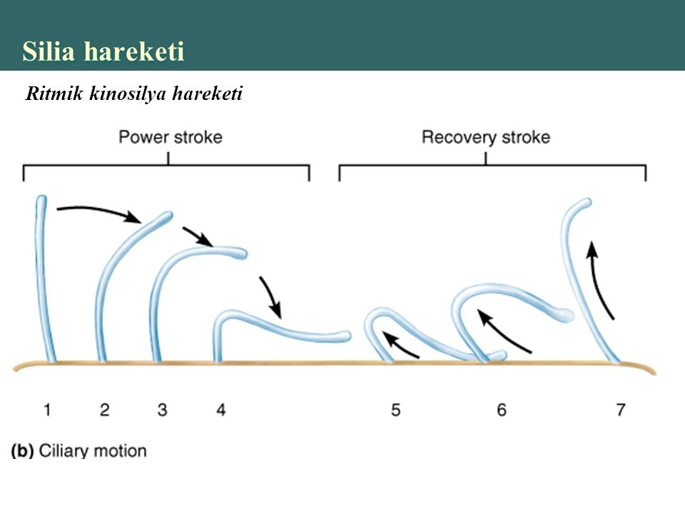 Silia hareketi Ritmik kinosilya hareketi