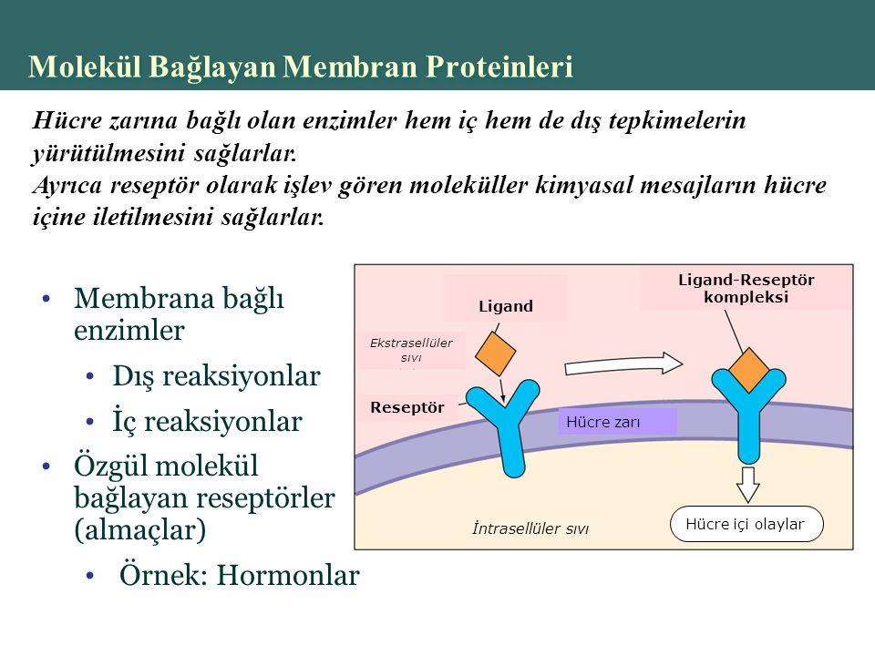 Molekül Bağlayan Membran Proteinleri