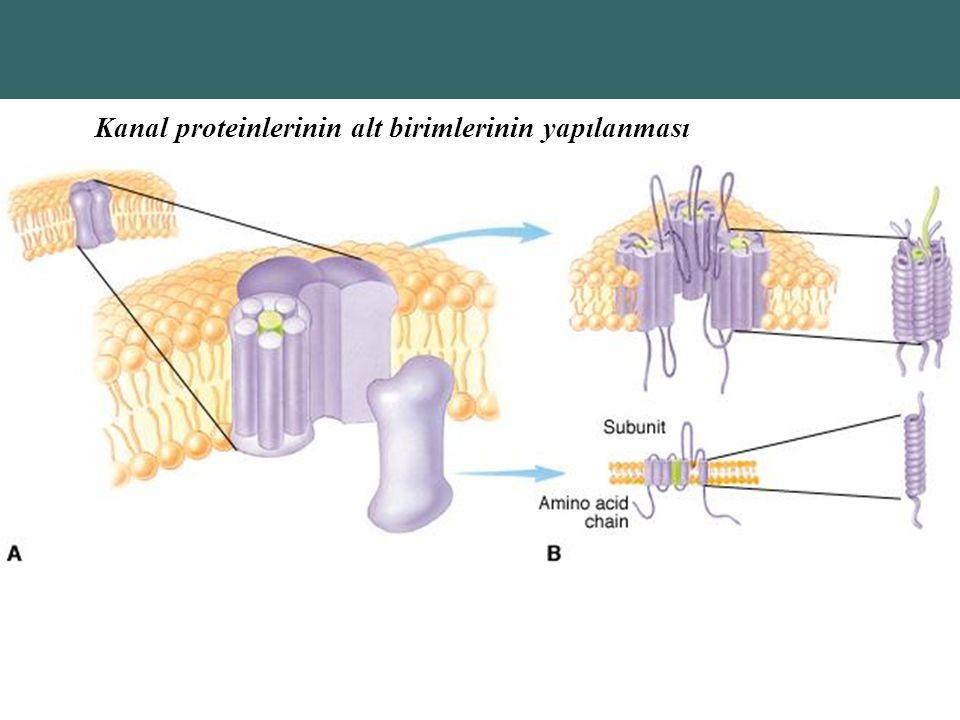 Kanal proteinlerinin alt birimlerinin yapılanması