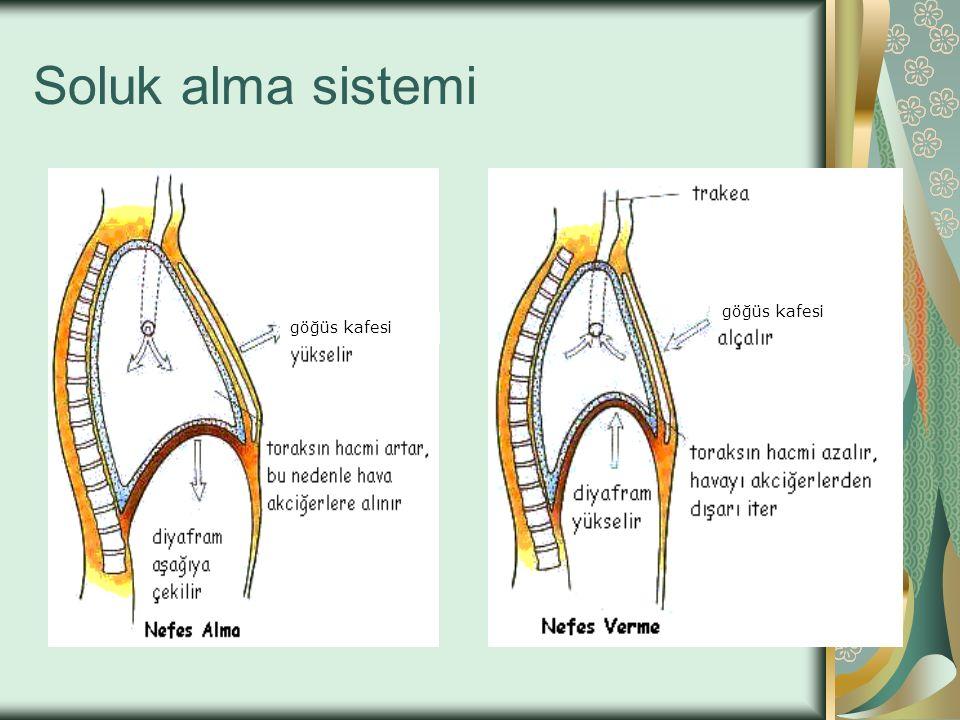 Soluk alma sistemi göğüs kafesi göğüs kafesi