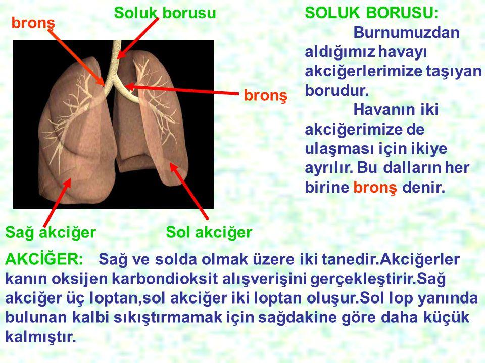 Soluk borusu SOLUK BORUSU: Burnumuzdan aldığımız havayı akciğerlerimize taşıyan borudur.