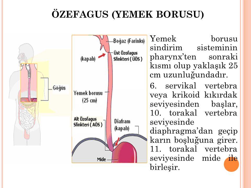 ÖZEFAGUS (YEMEK BORUSU)