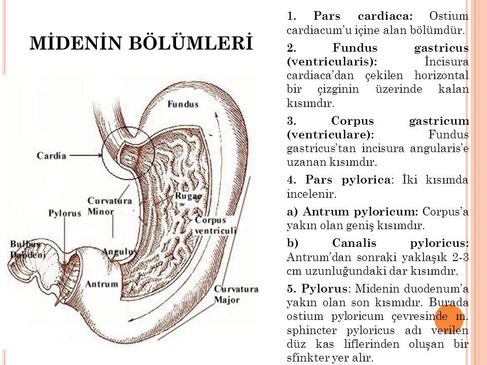 1. Pars cardiaca: Ostium cardiacum'u içine alan bölümdür. 2