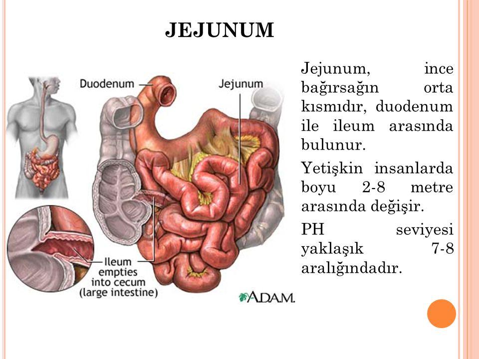 JEJUNUM Jejunum, ince bağırsağın orta kısmıdır, duodenum ile ileum arasında bulunur. Yetişkin insanlarda boyu 2-8 metre arasında değişir.