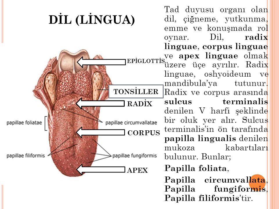 Tad duyusu organı olan dil, çiğneme, yutkunma, emme ve konuşmada rol oynar. Dil, radix linguae, corpus linguae ve apex linguae olmak üzere üçe ayrılır. Radix linguae, oshyoideum ve mandibula'ya tutunur. Radix ve corpus arasında sulcus terminalis denilen V harfi şeklinde bir oluk yer alır. Sulcus terminalis'in ön tarafında papilla lingualis denilen mukoza kabartıları bulunur. Bunlar; Papilla foliata, Papilla circumvallata, Papilla fungiformis, Papilla filiformis'tir.