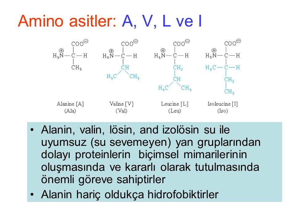 Amino asitler: A, V, L ve I