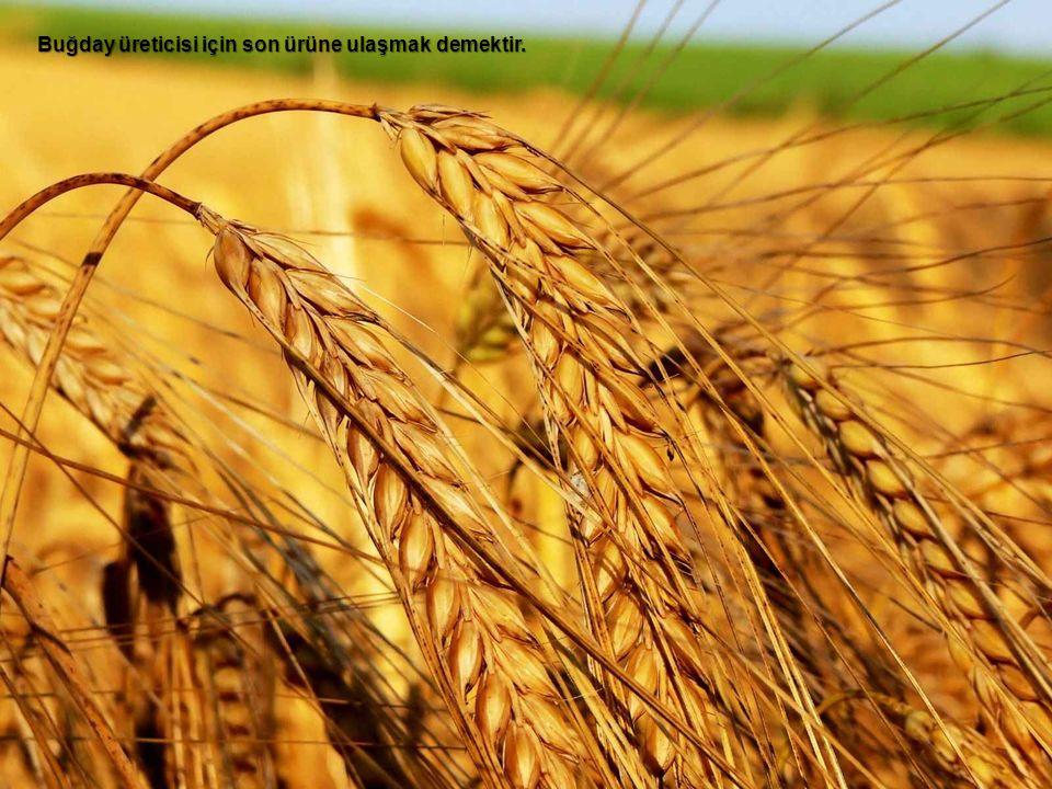 Buğday üreticisi için son ürüne ulaşmak demektir.