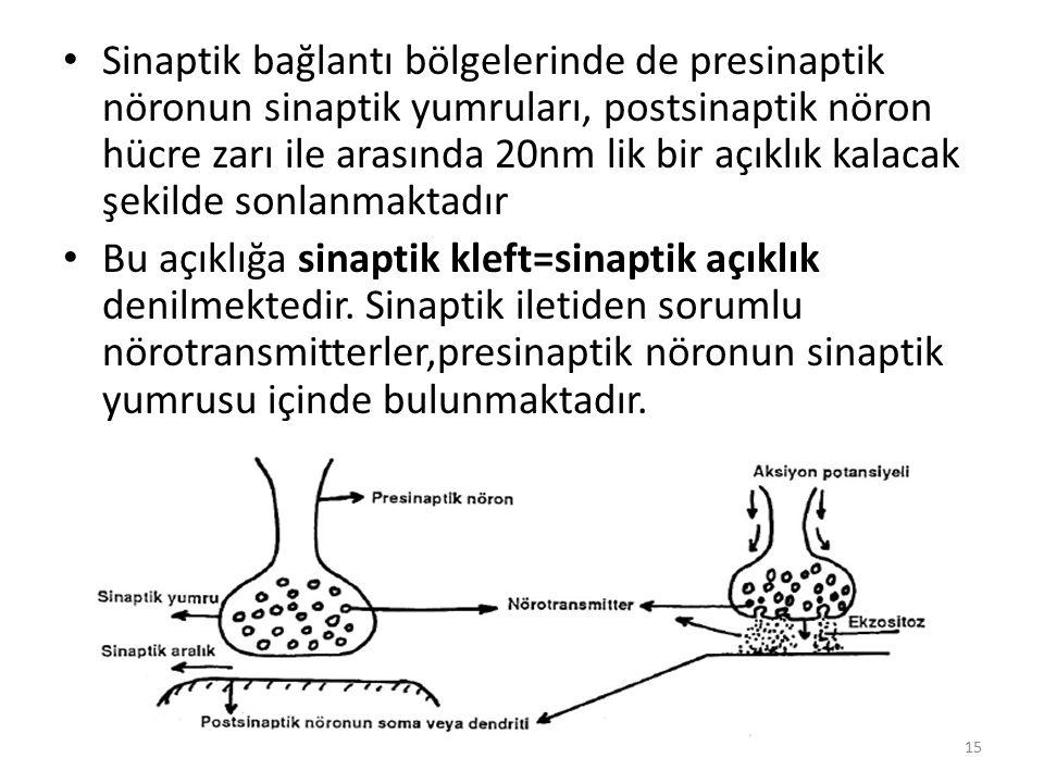 Sinaptik bağlantı bölgelerinde de presinaptik nöronun sinaptik yumruları, postsinaptik nöron hücre zarı ile arasında 20nm lik bir açıklık kalacak şekilde sonlanmaktadır