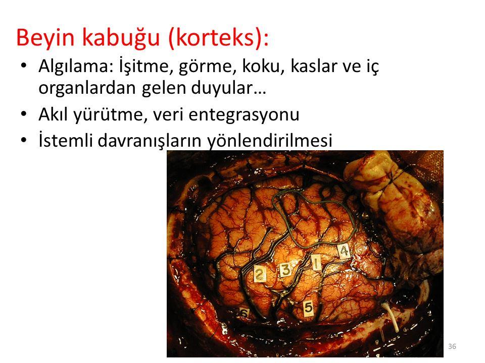 Beyin kabuğu (korteks):