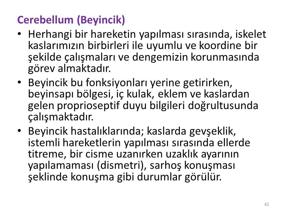 Cerebellum (Beyincik)