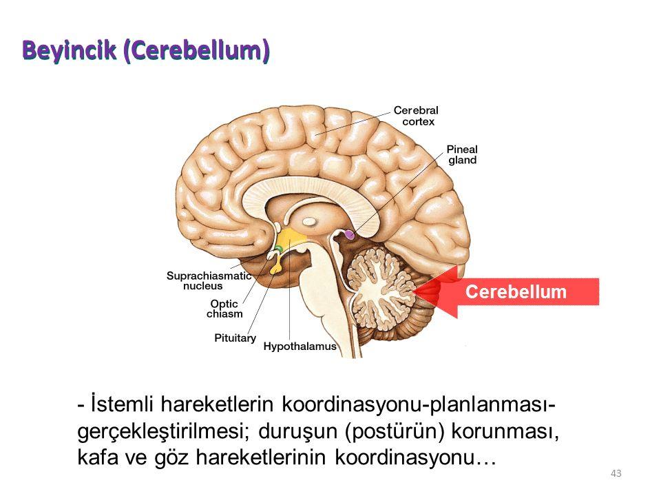 Beyincik (Cerebellum)