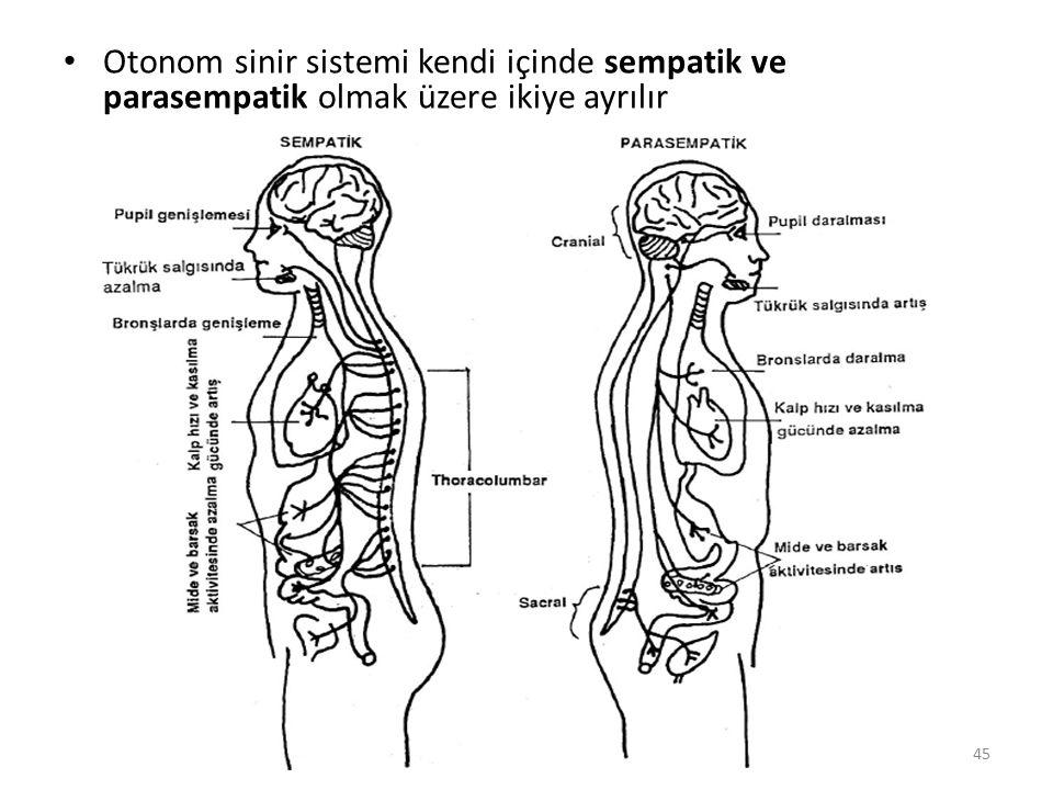 Otonom sinir sistemi kendi içinde sempatik ve parasempatik olmak üzere ikiye ayrılır