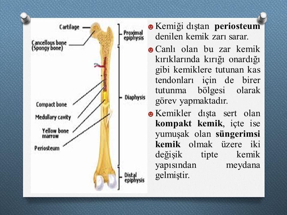 Kemiği dıştan periosteum denilen kemik zarı sarar.