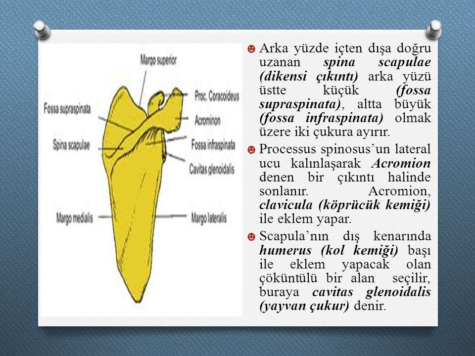 Arka yüzde içten dışa doğru uzanan spina scapulae (dikensi çıkıntı) arka yüzü üstte küçük (fossa supraspinata), altta büyük (fossa infraspinata) olmak üzere iki çukura ayırır.