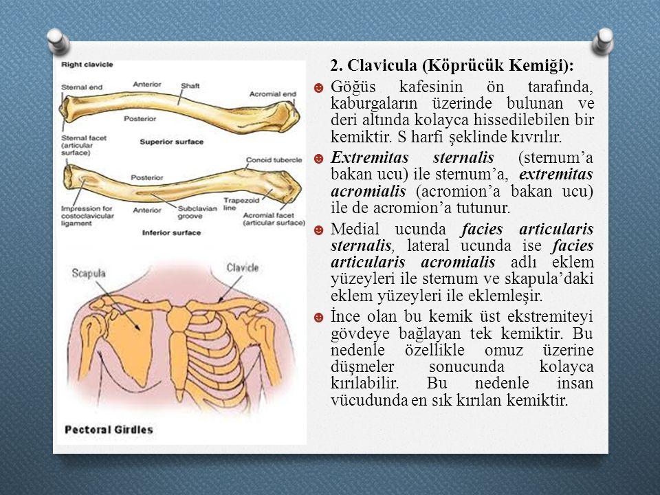 2. Clavicula (Köprücük Kemiği):