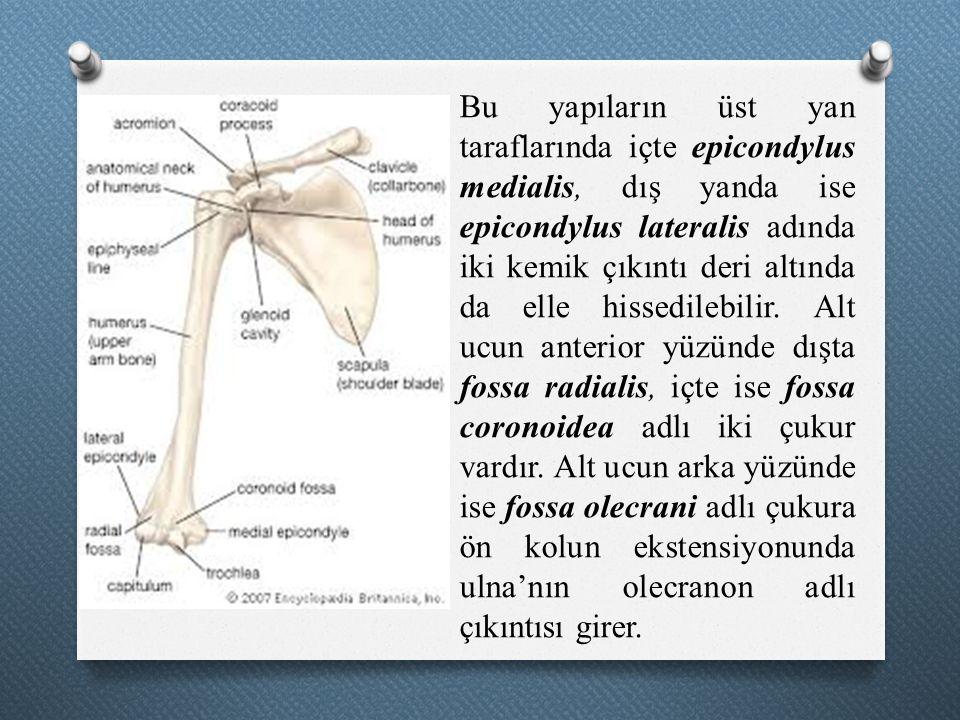 Bu yapıların üst yan taraflarında içte epicondylus medialis, dış yanda ise epicondylus lateralis adında iki kemik çıkıntı deri altında da elle hissedilebilir.