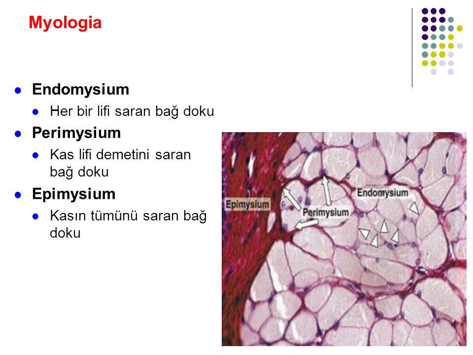 Myologia Endomysium Perimysium Epimysium Her bir lifi saran bağ doku
