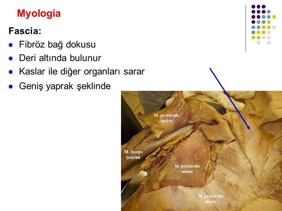 Myologia Fascia: Fibröz bağ dokusu Deri altında bulunur