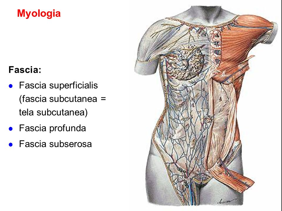 Myologia Fascia: Fascia superficialis (fascia subcutanea = tela subcutanea) Fascia profunda.