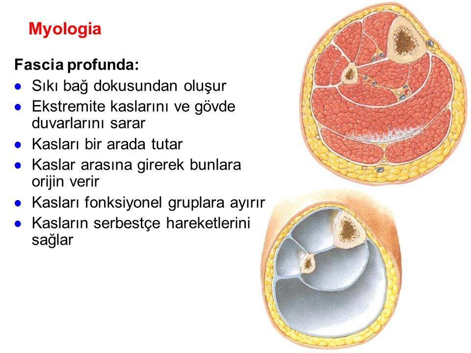 Myologia Fascia profunda: Sıkı bağ dokusundan oluşur