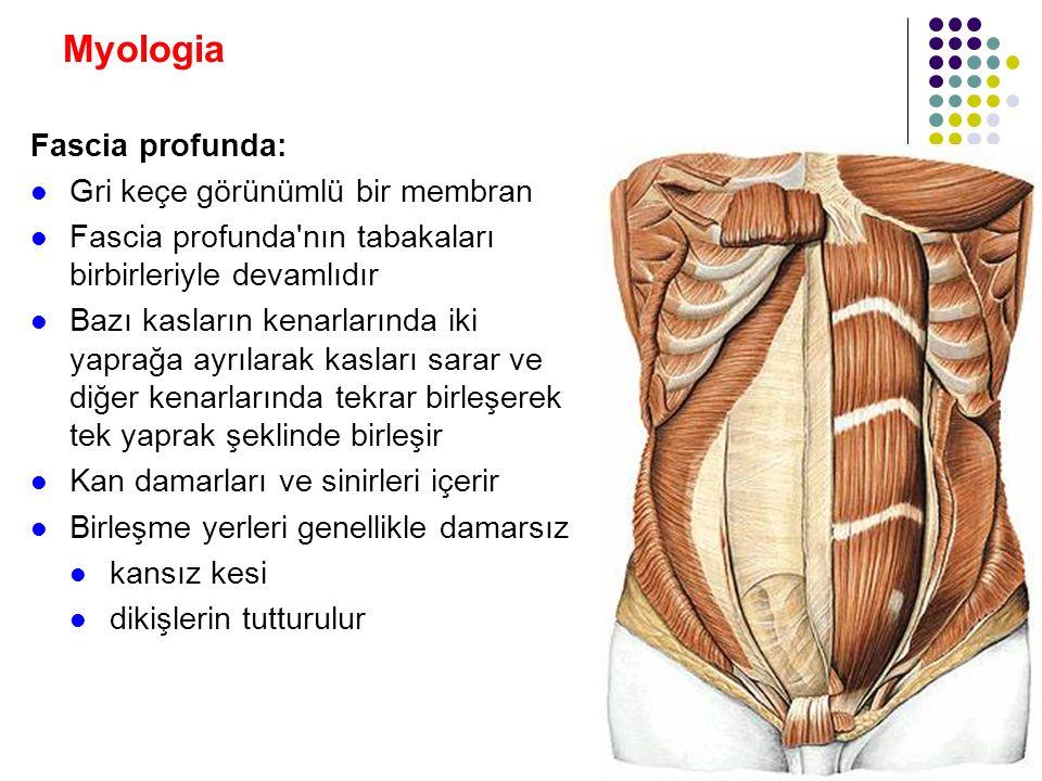 Myologia Fascia profunda: Gri keçe görünümlü bir membran