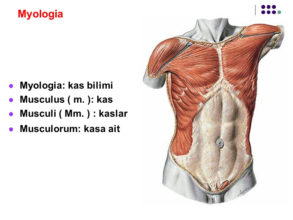 Myologia Myologia: kas bilimi Musculus ( m. ): kas