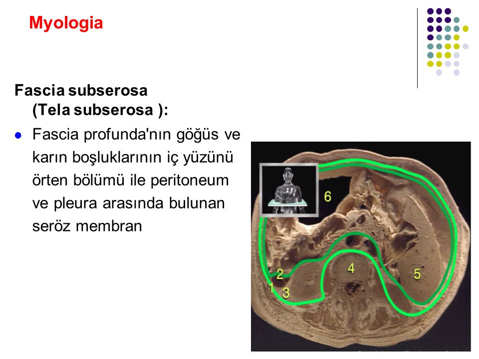 Myologia Fascia subserosa (Tela subserosa ):