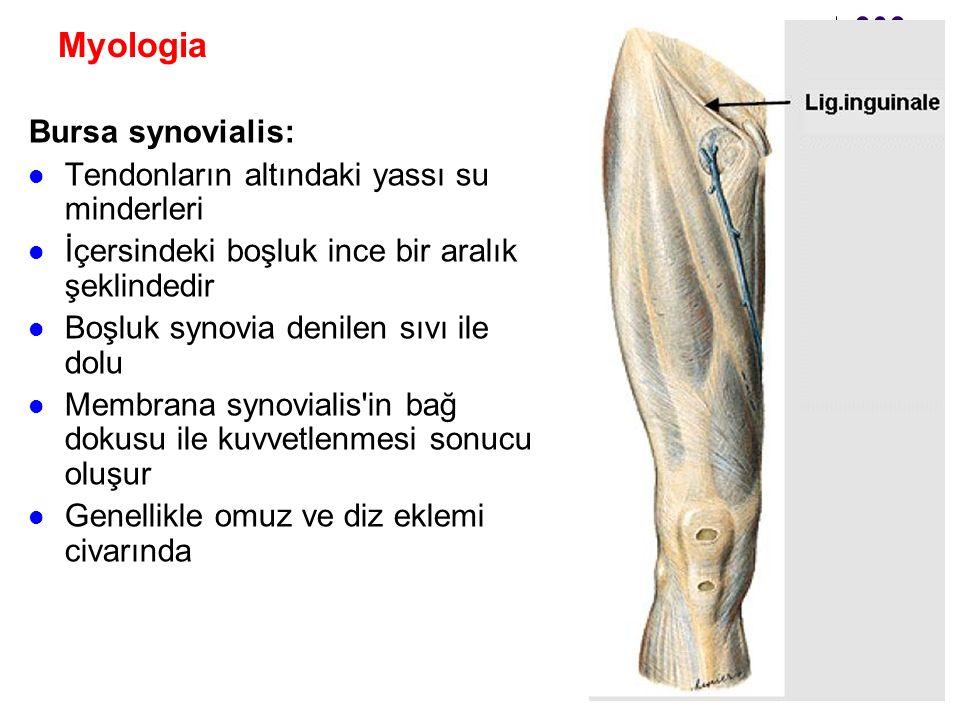 Myologia Bursa synovialis: Tendonların altındaki yassı su minderleri