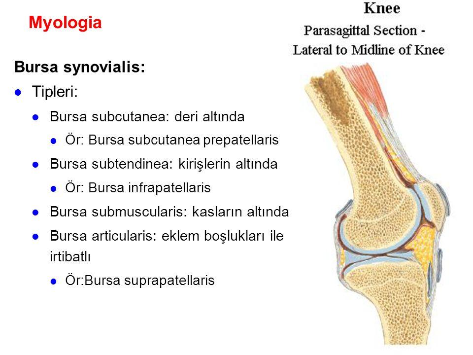 Myologia Bursa synovialis: Tipleri: Bursa subcutanea: deri altında