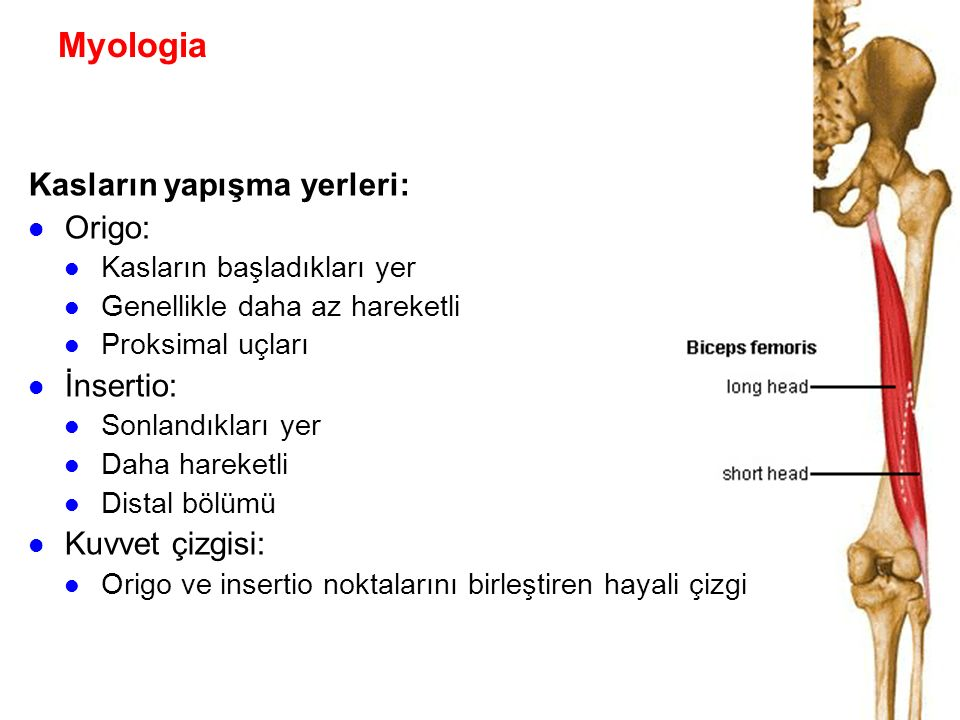 Myologia Kasların yapışma yerleri: Origo: İnsertio: Kuvvet çizgisi: