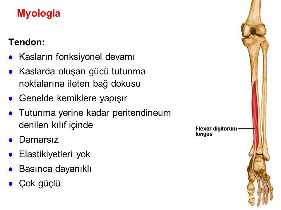 Myologia Tendon: Kasların fonksiyonel devamı