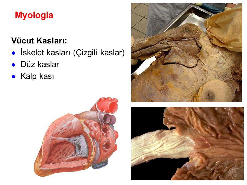 Myologia Vücut Kasları: İskelet kasları (Çizgili kaslar) Düz kaslar