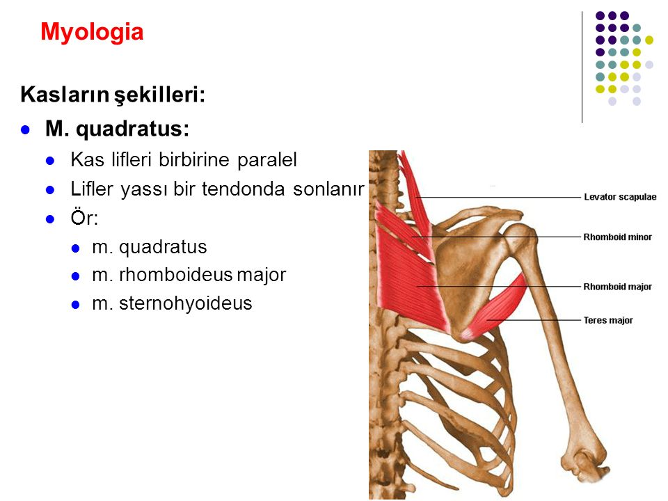 Myologia Kasların şekilleri: M. quadratus: