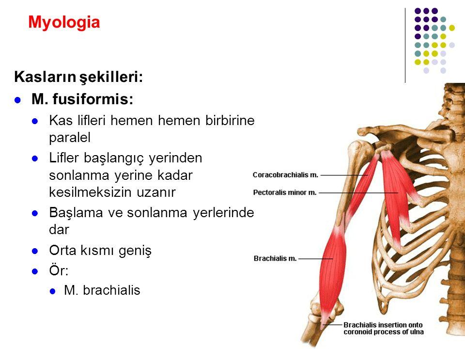 Myologia Kasların şekilleri: M. fusiformis: